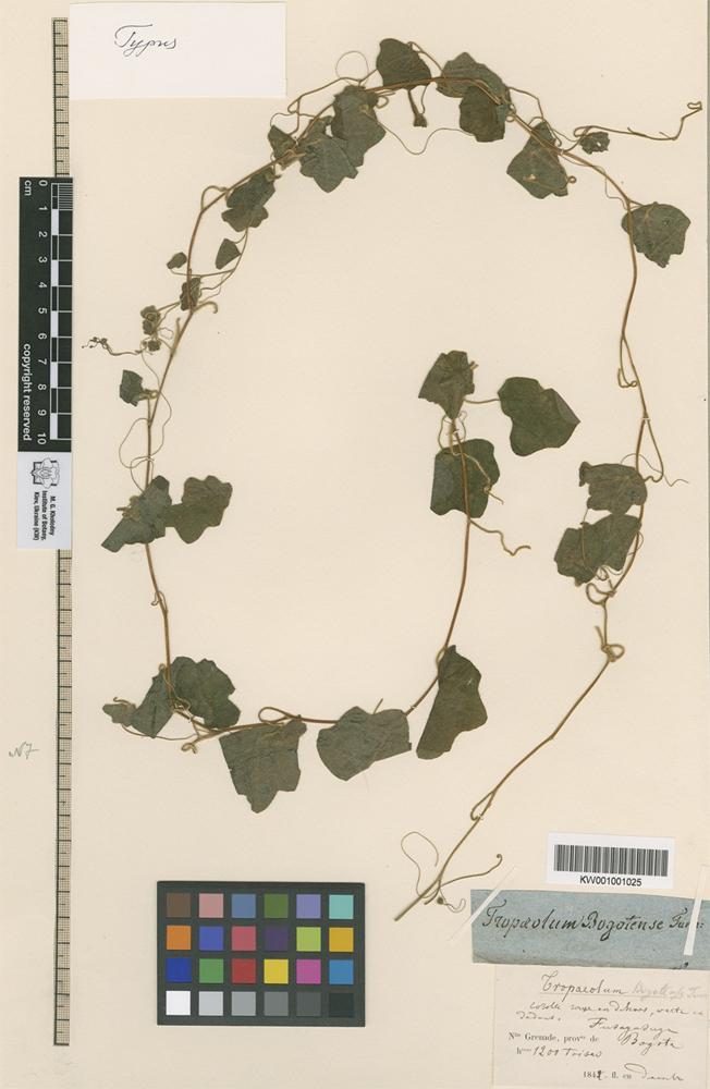 Holotype of Tropaeolum bogotense Turcz. [family TROPAEOLACEAE]