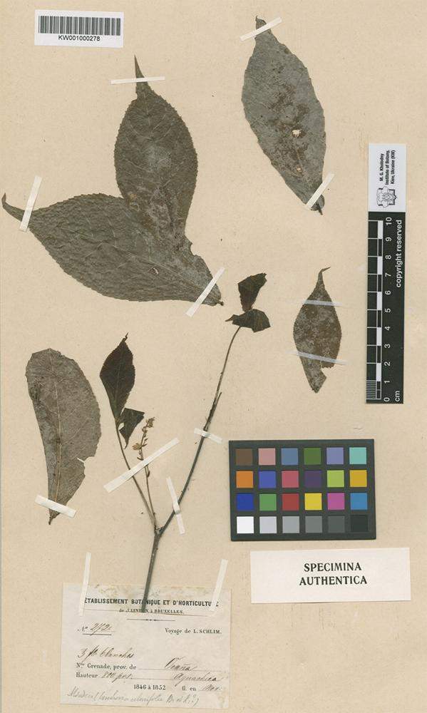 Original material of Alsodeia albicaulis Turcz. [family VIOLACEAE]