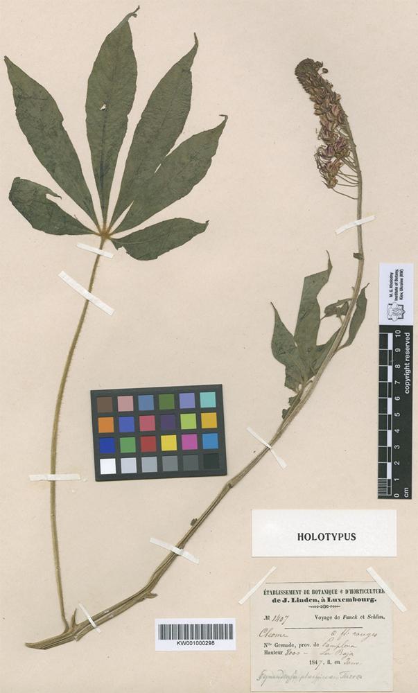 Holotype of Gynandropsis phoenicea Turcz. [family CAPPARACEAE]