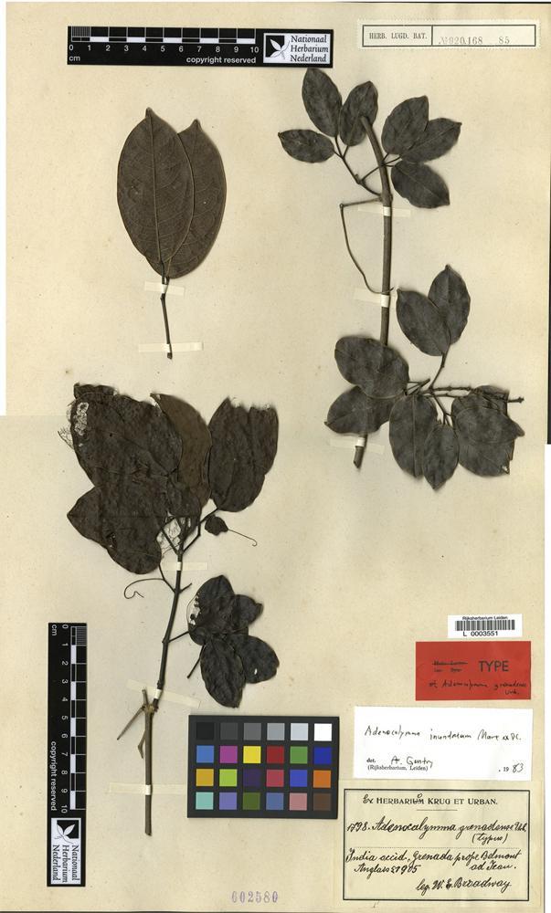 Isotype of Adenocalymma grenadense Urb. [family BIGNONIACEAE]