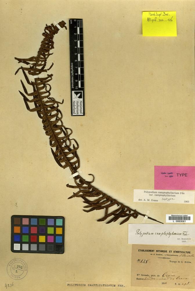 Isotype of Polypodium camptophyllarium Fée [family PTERIDOPHYTA]