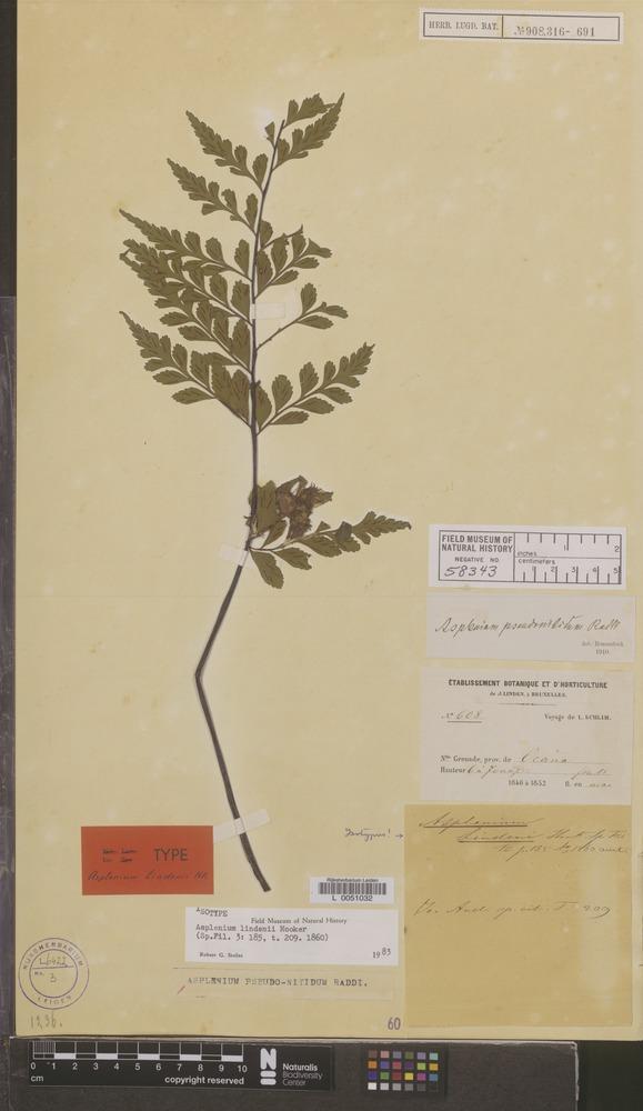 Isotype of Asplenium lindenii Hook. [family PTERIDOPHYTA]