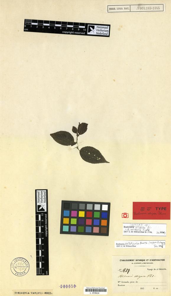 Isotype of Boehmeria strigosa Blume [family URTICACEAE]