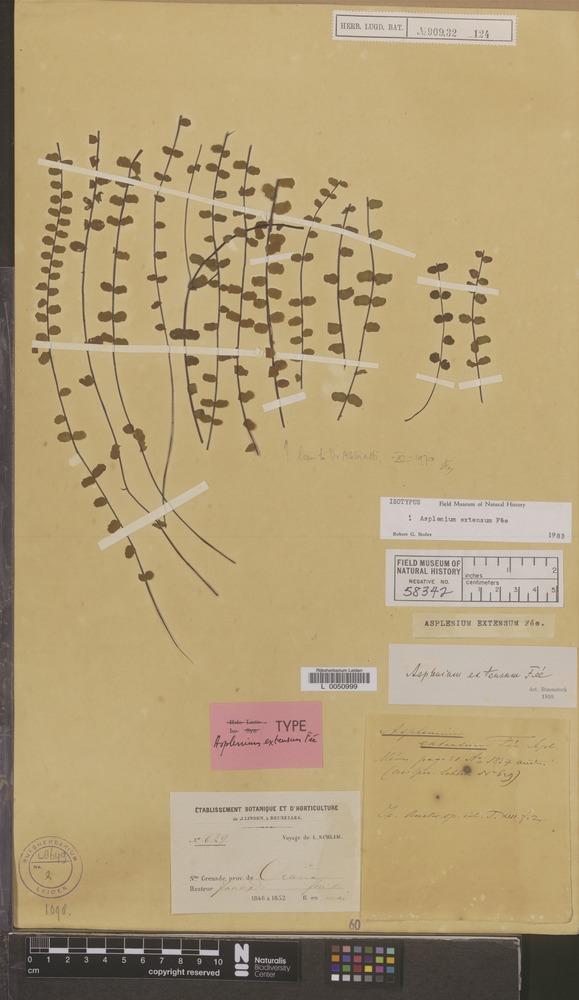Isotype of Asplenium extensum Fée [family PTERIDOPHYTA]