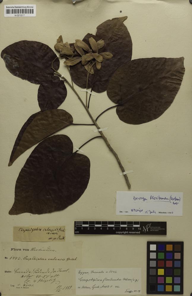 Isosyntype of Carpodiptera floribunda Urb. [family GONYSTYLACEAE]