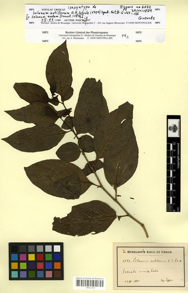 Isosyntype of Solanum antillarum O.E.Schulz [family SOLANACEAE]