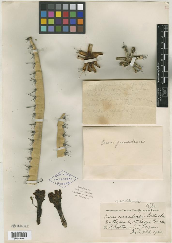 Type? of Cereus grenadensis Britton & Rose [family CACTACEAE]
