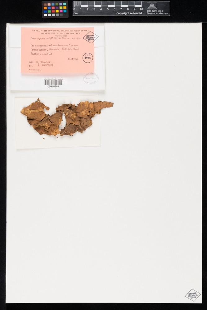 Isotype of Coccomyces antillarum Sherwood [family RHYTISMATACEAE]