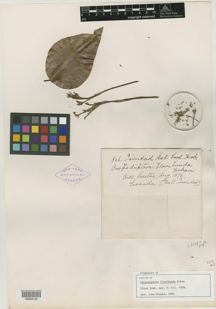 Syntype of Carpodiptera floribunda Urb. [family TILIACEAE]