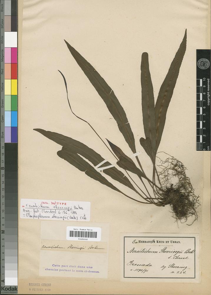 Type? of Acrostichum scherringii Baker [family PTERIDOPHYTA]