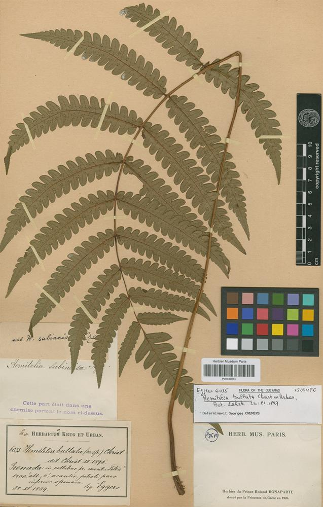 Isotype of Hemitelia bullata Christ [family PTERIDOPHYTA]