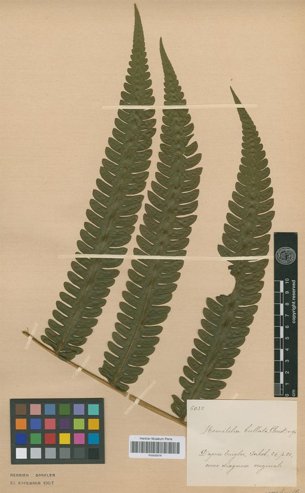 Type of Hemitelia bullata Christ [family PTERIDOPHYTA]