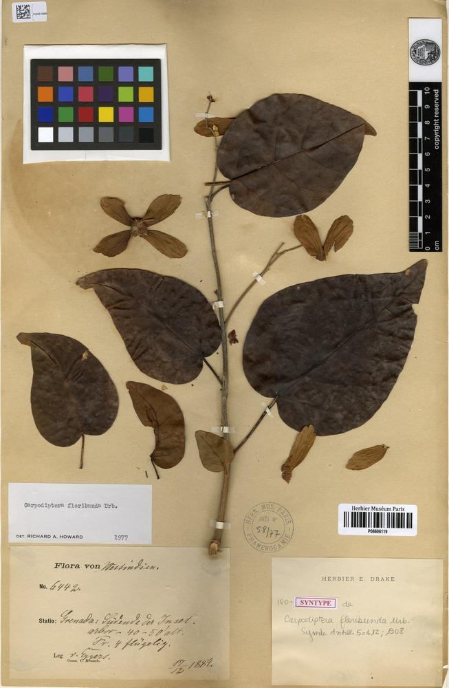 Isosyntype of Carpodiptera floribunda Urb. [family MALVACEAE]