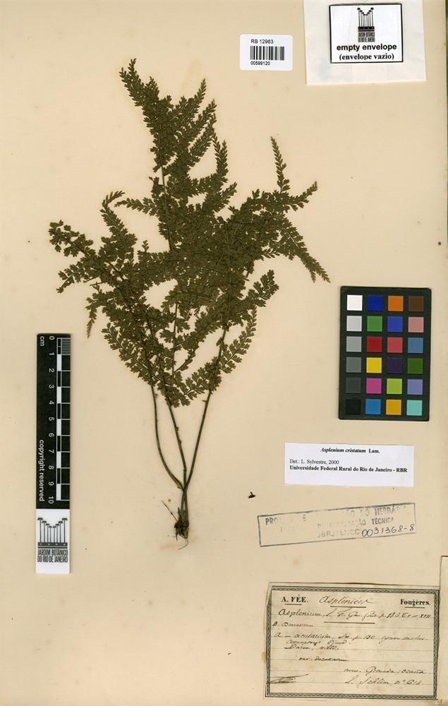 Asplenium cristatum Lam. [family ASPLENIACEAE]