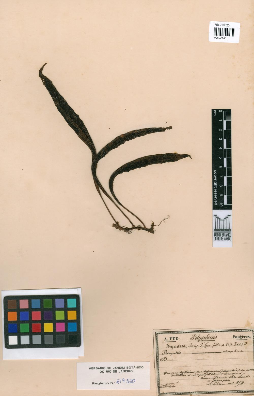 Drynaria sp. [family POLYPODIACEAE]