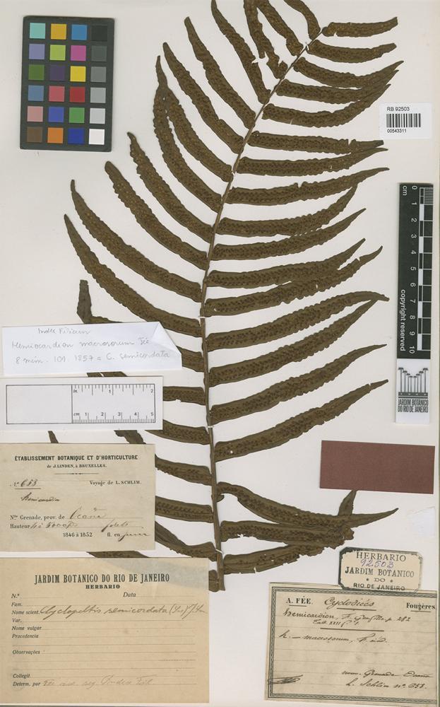 Type of Hemicardion macrosorum Fée [family PTERIDOPHYTA]
