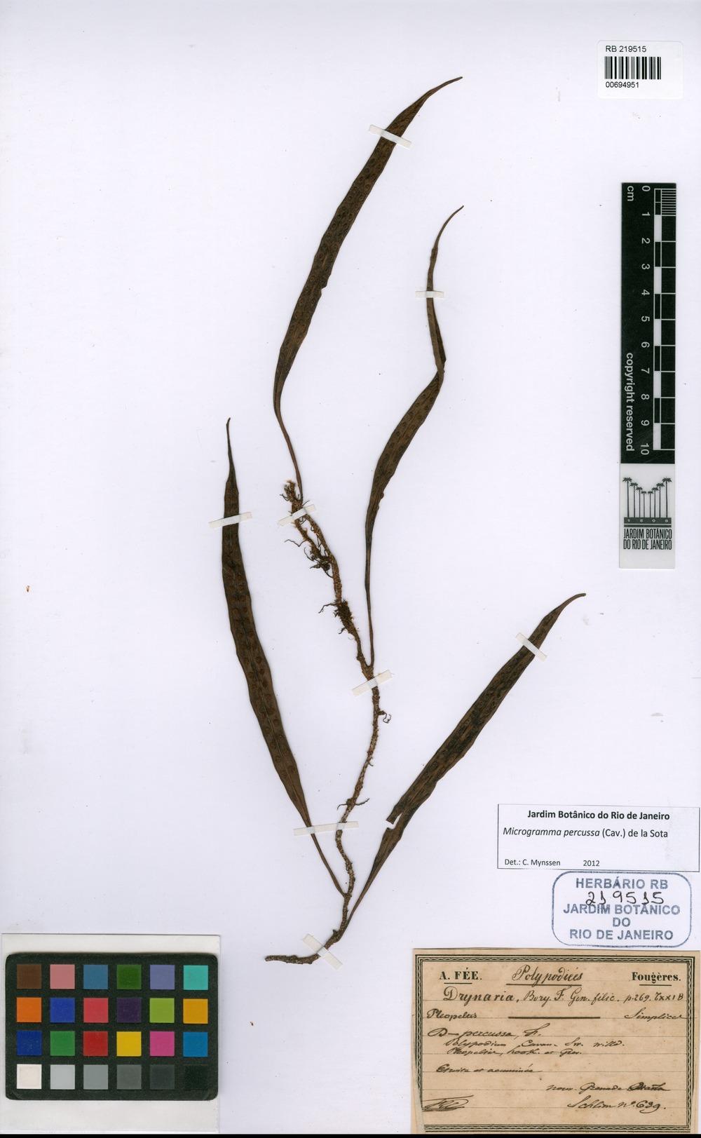 Microgramma percussa (Cav.) de la Sota [family POLYPODIACEAE]