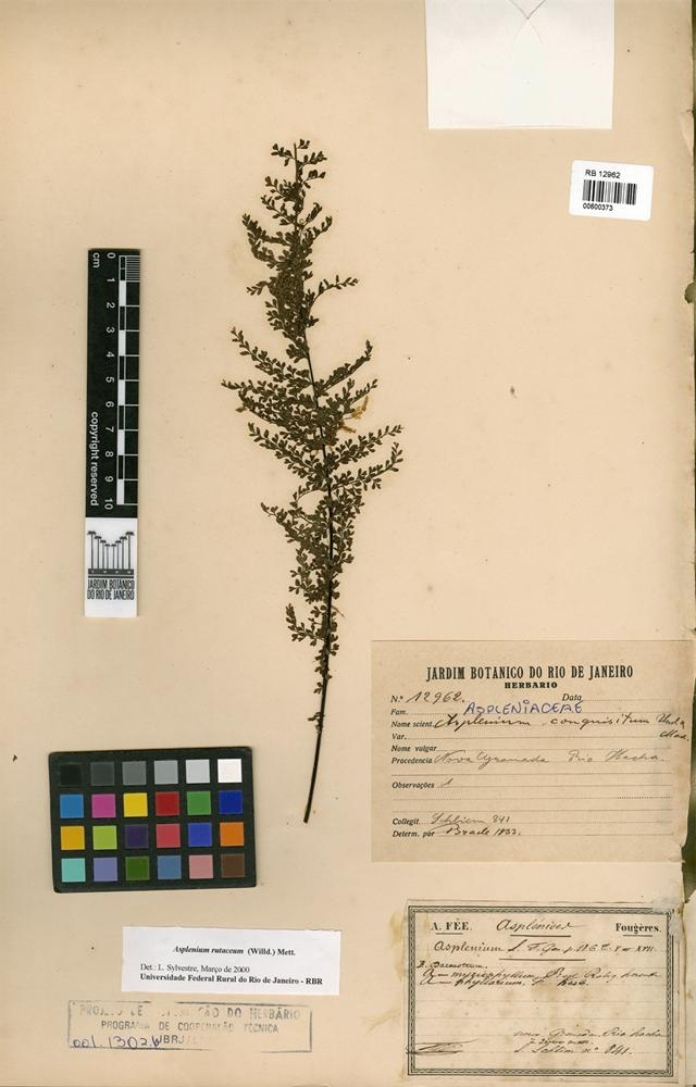 Asplenium rutaceum (Willd.) Mett. [family ASPLENIACEAE]