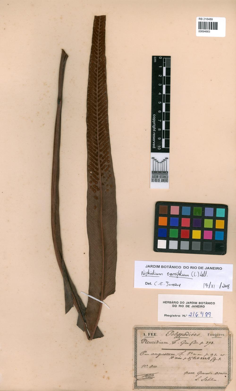 Niphidium crassifolium (L.) lellinger [family POLYPODIACEAE]