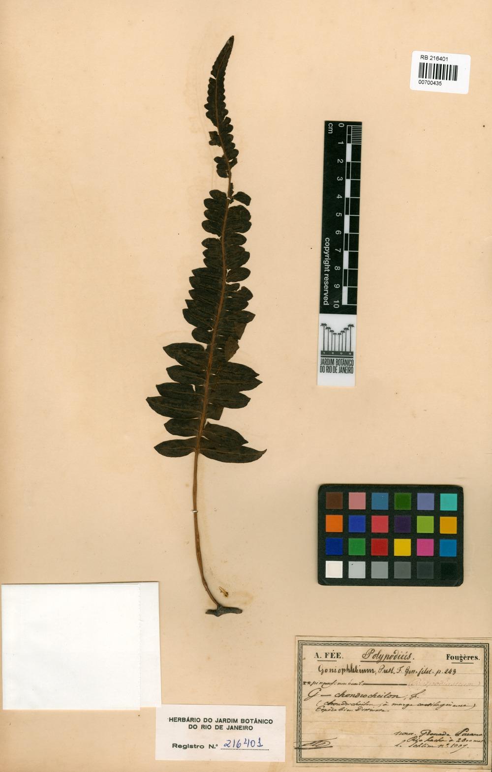 Goniophlebium chondrocheilon Fée [family POLYPODIACEAE]