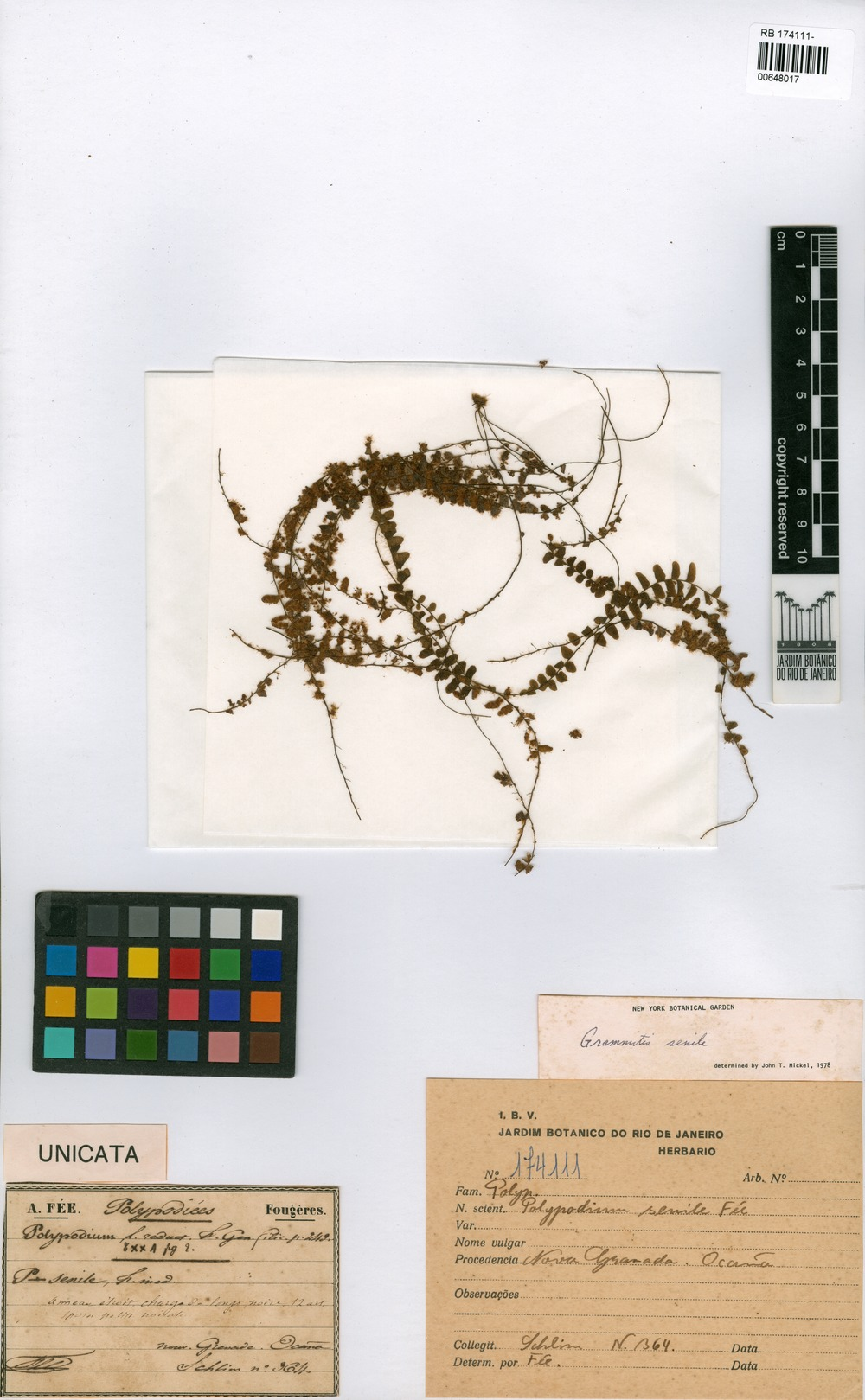 Grammitis senilis (Fée) C.V. Morton [family POLYPODIACEAE]