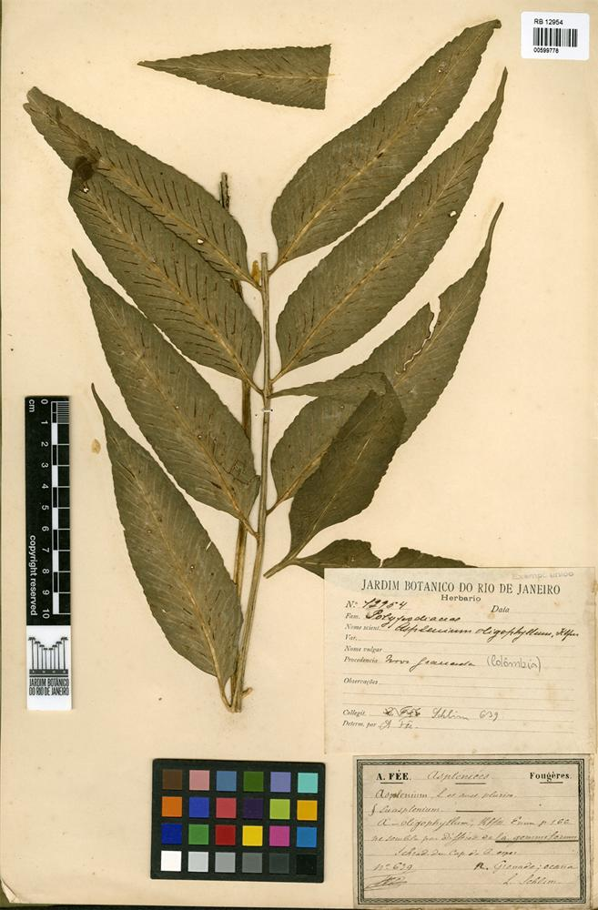 Asplenium oligophyllum Kaulf. [family ASPLENIACEAE]