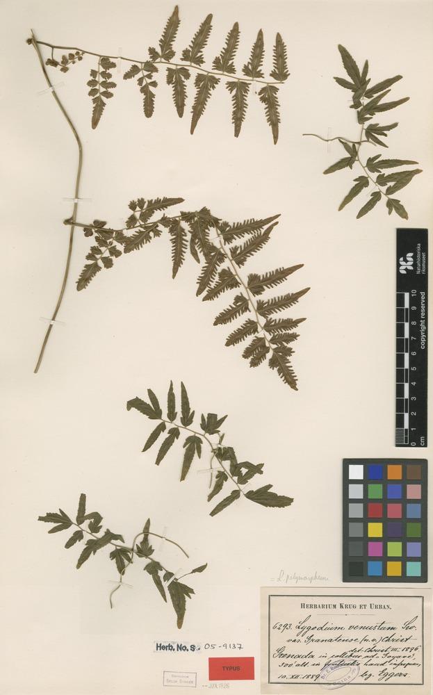 Type of Lygodium venustum Sw. var. granatense Christ [family SCHIZAEACEAE]