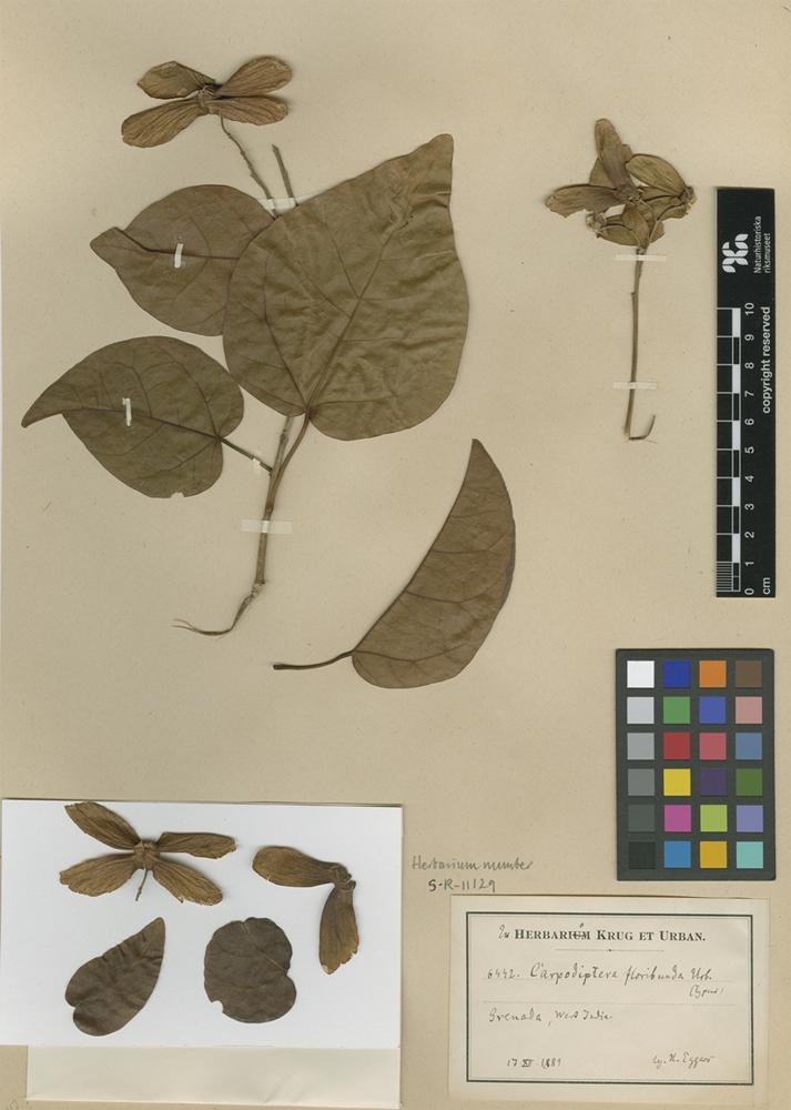 Type of Carpodiptera floribunda Urb. [family MALVACEAE]