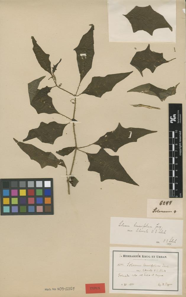 Type of Solanum lanceifolium Jacq. var. litorale O.E.Schulz [family SOLANACEAE]