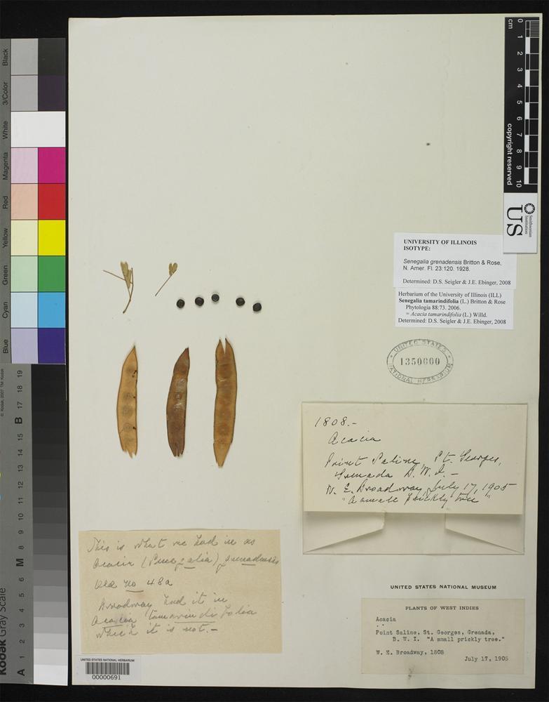 Type of Senegalia grenadensis Britton, N. L., Rose, J. N. 1928 [family FABACEAE]