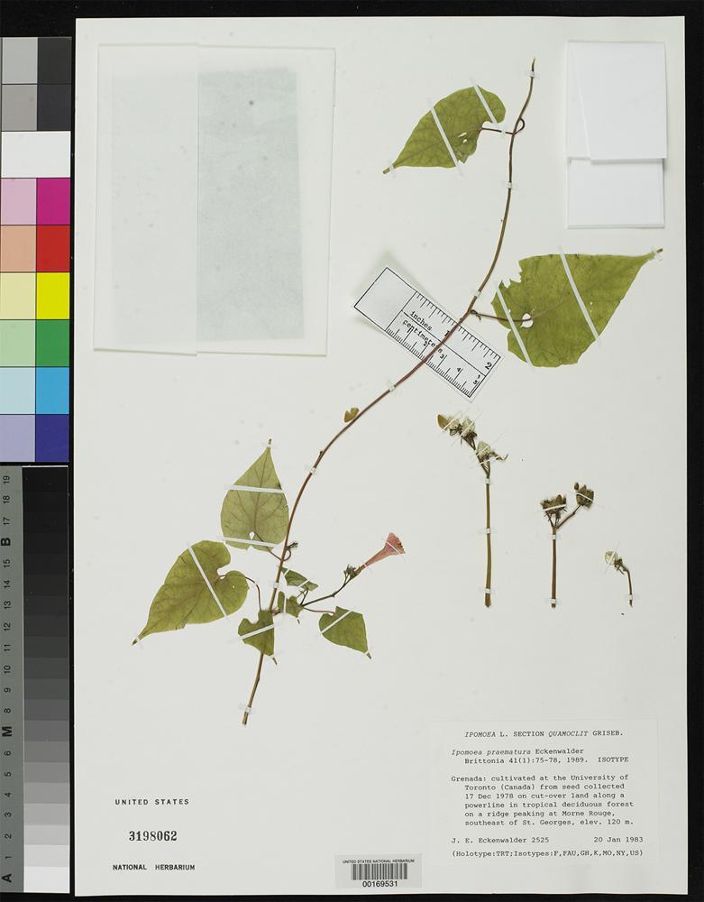Isotype of Ipomoea praematura Eckenwalder, J.E. 1989 [family CONVOLVULACEAE]