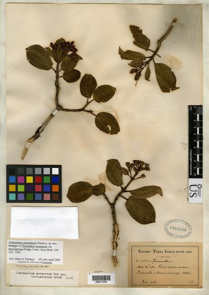 Isotype of Charianthus purpureus var. brevisetosus Hodge, W.H. FLAS [family MELASTOMATACEAE]