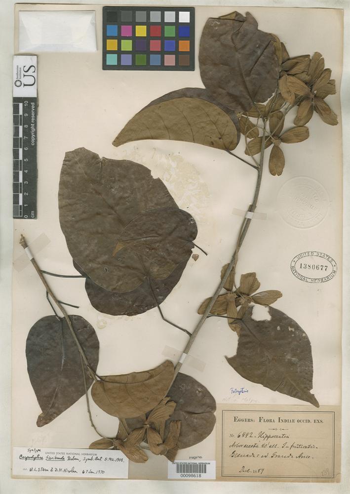 Isosyntype of Carpodiptera floribunda Urban, I. 1908 [family TILIACEAE]