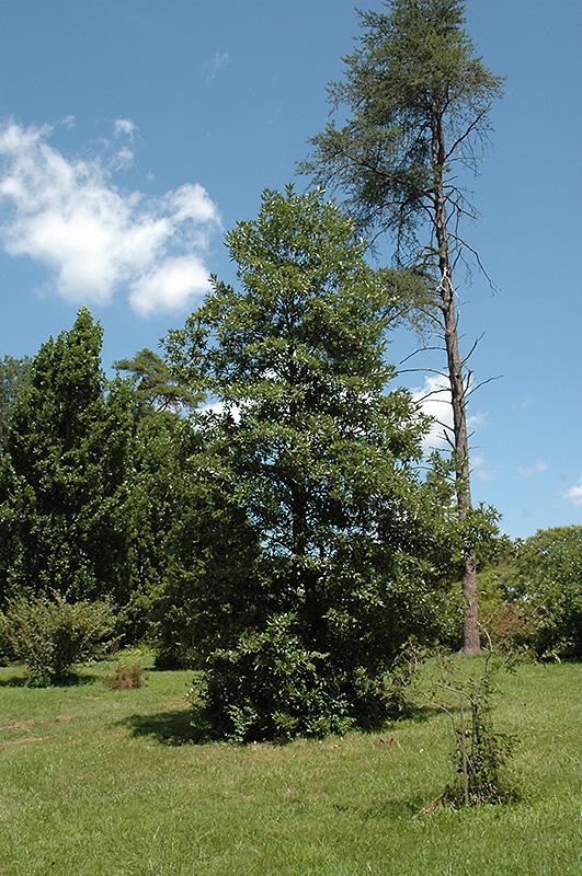 Southern Sweetbay Magnolia Magnolia Virginiana Var