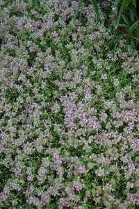 Magic Carpet Creeping Thyme (Thymus serpyllum 'Magic ...
