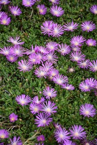 Table Mountain Ice Plant (Delosperma 'John Proffitt') in ...