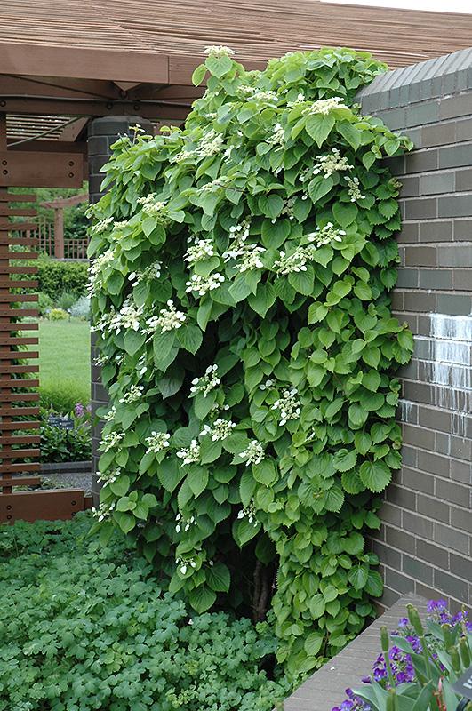 Japanese Hydrangea Vine (schizophragma Hydrangeoides) In