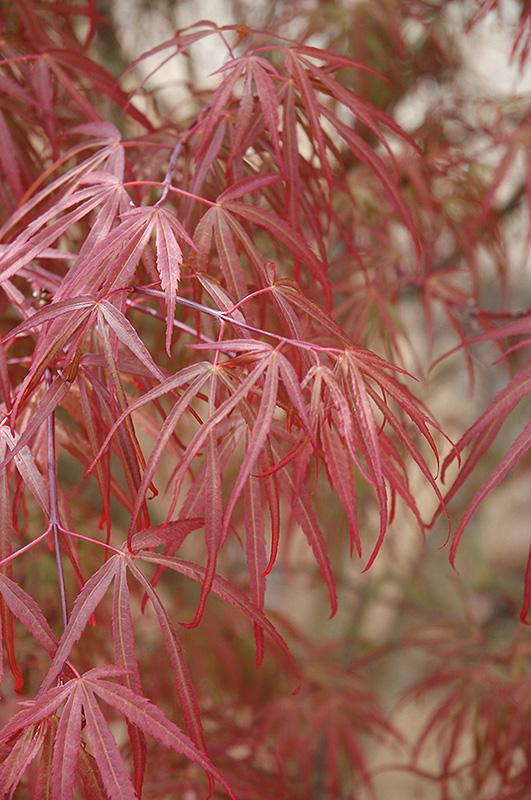 Ribbon Leaf Japanese Maple Acer Palmatum Atrolineare In Columbus Dublin Delaware Grove City