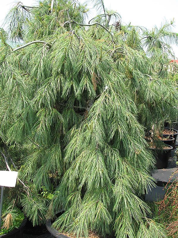 Weeping White Pine Pinus strobus Pendula in Columbus Dublin Delaware Grove City Gahanna