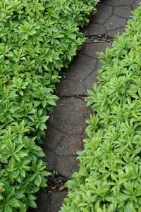 Green Carpet Japanese Spurge (Pachysandra terminalis ...