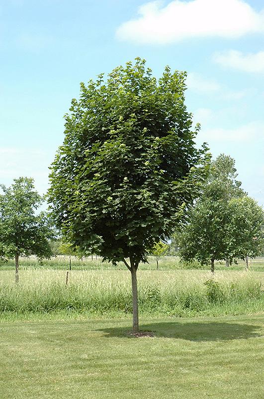 Easy Street Norway Maple Acer platanoides Ezestre in Columbus Dublin Delaware Grove City