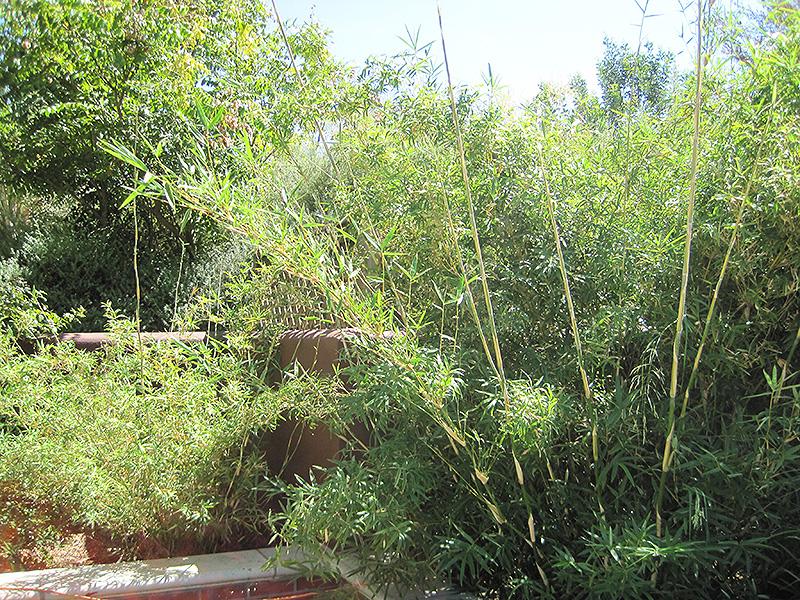 Small Clumping Bamboo