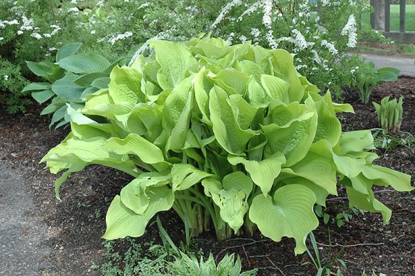 25 Landscaping Full Sun Hostas Pictures And Ideas On Pro Landscape