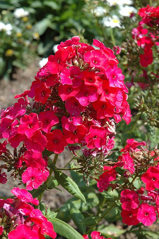 Red Flame Garden Phlox Phlox paniculata Red Flame in