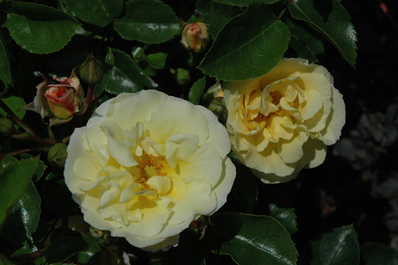 Popcorn Drift Rose Rosa Novarospop in Milwaukee