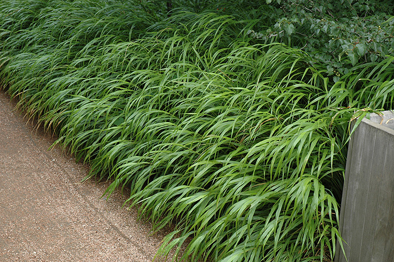 Japanese Woodland Grass Hakonechloa Macra In Issaquah Seattle Bellevue Redmond Renton