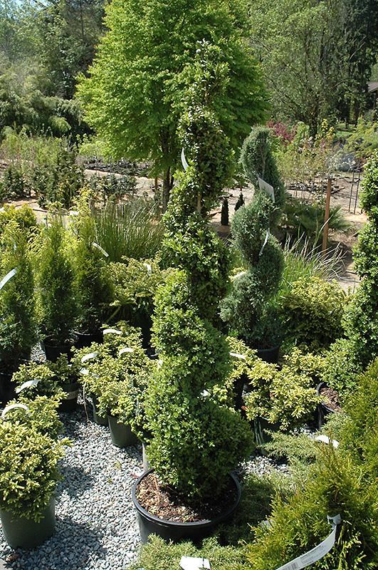 Common Boxwood Spiral Buxus Sempervirens Spiral In Issaquah Seattle Bellevue Redmond