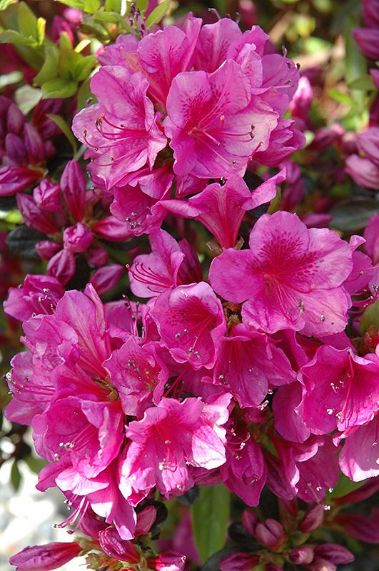 Girard S Purple Azalea Rhododendron Girard S Purple In