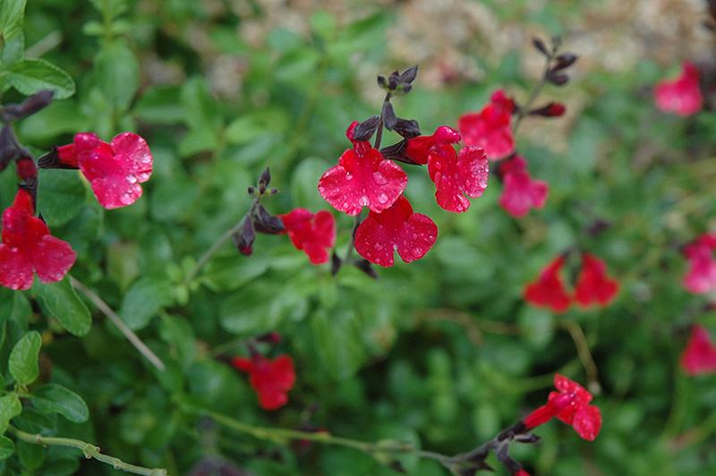 Navajo Red Autumn Sage Salvia Greggii Navajo Red In
