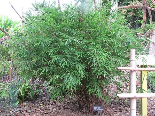 blue stemmed bamboo himalayacalamus